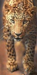 Панно AltaCera Leopard S/4 SW9LEO21 99,6x50